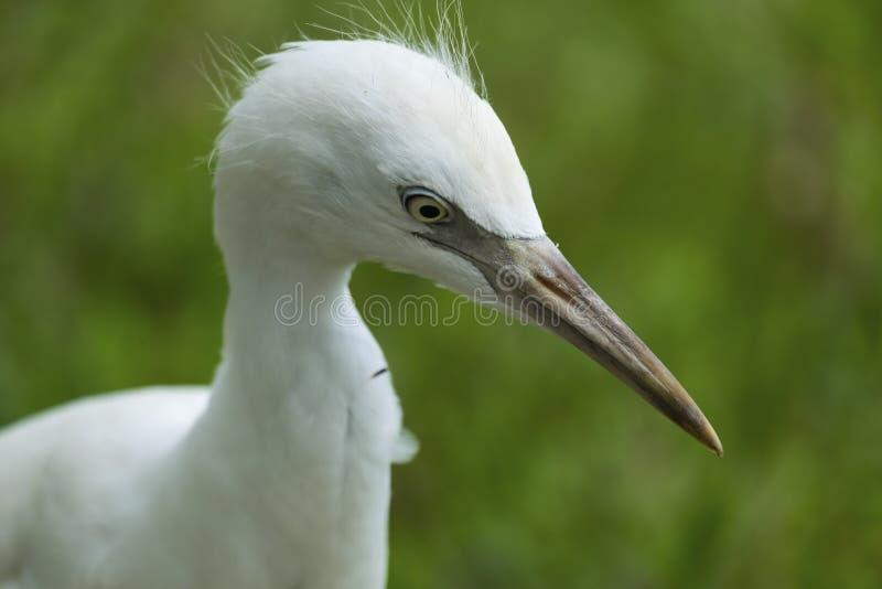 Egret do branco do bebê fotos de stock