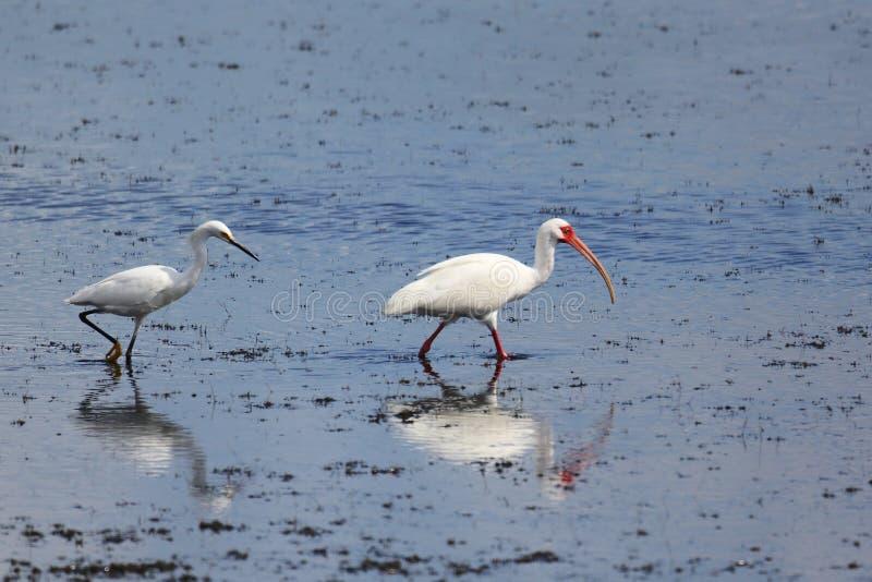 Egret e íbis que alimentam em um pântano da água salgada com reflexões sobre foto de stock
