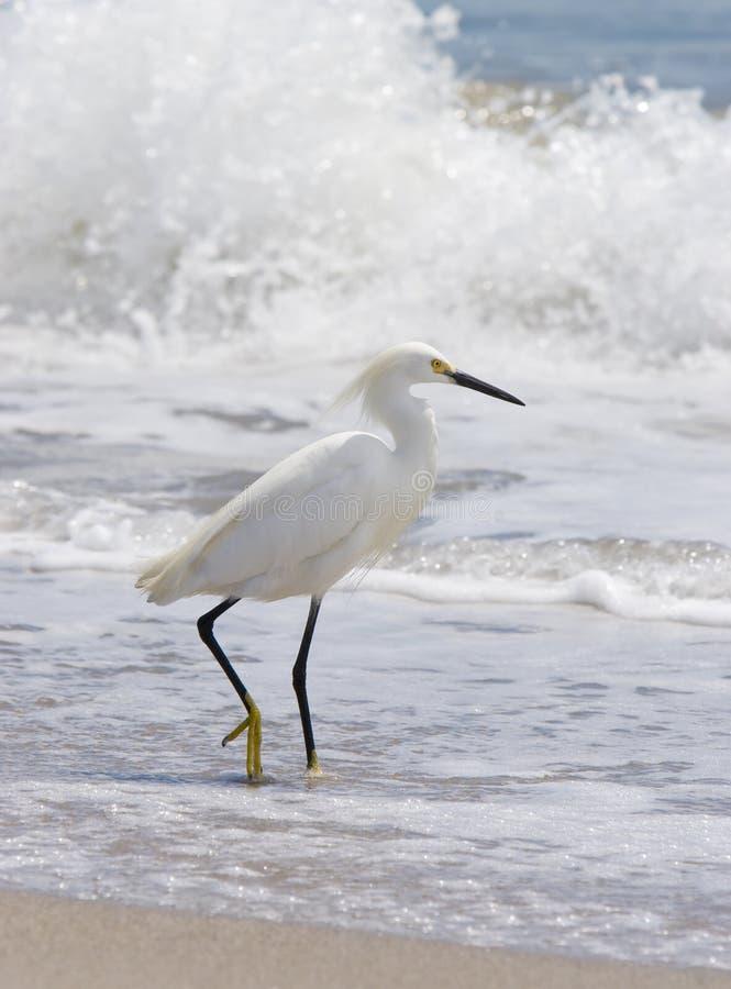 Egret ed onda di Snowy immagine stock