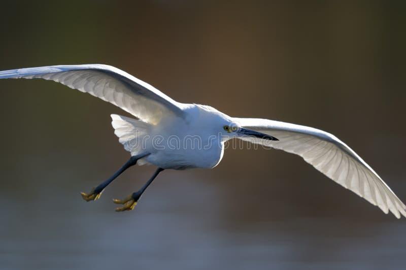 egret egretta śnieżny thula zdjęcie royalty free