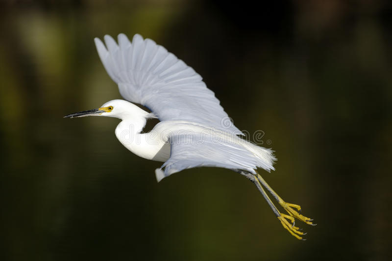 egret egretta śnieżny thula obrazy stock