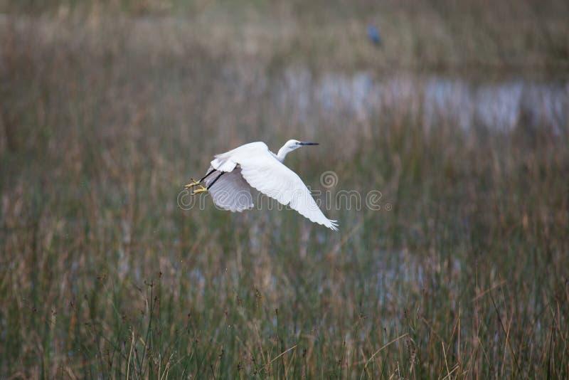 Egret em voo fotos de stock
