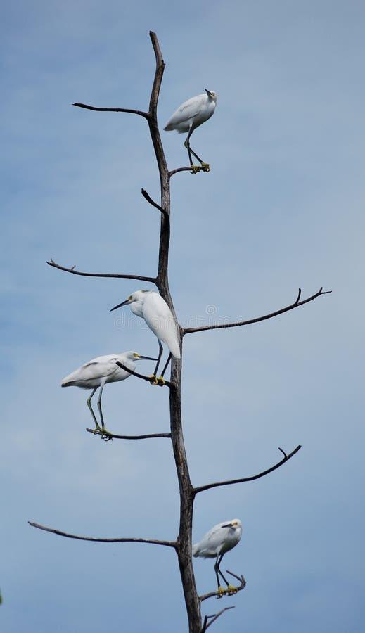 Egret en árbol foto de archivo