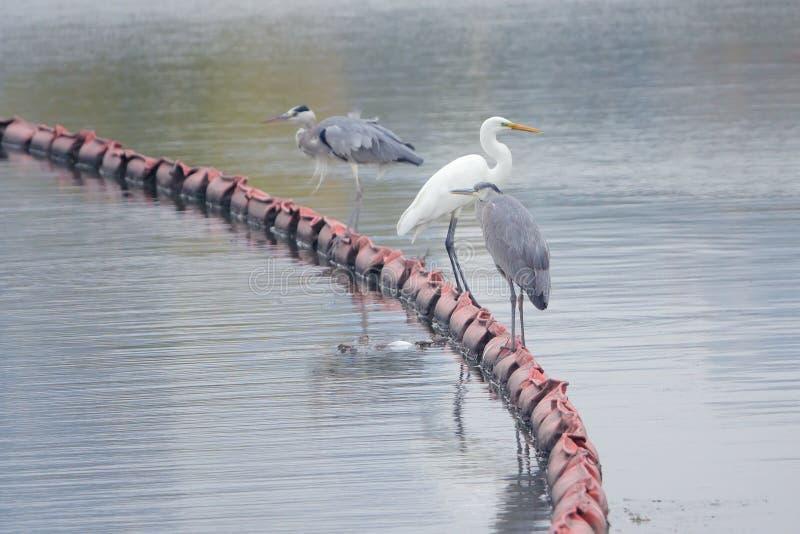 Egret en Heron stock foto
