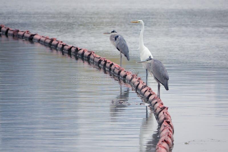 Egret en Heron royalty-vrije stock afbeelding