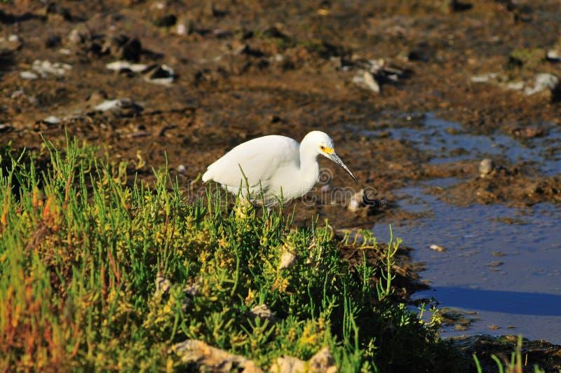 Egret en humedales imagen de archivo