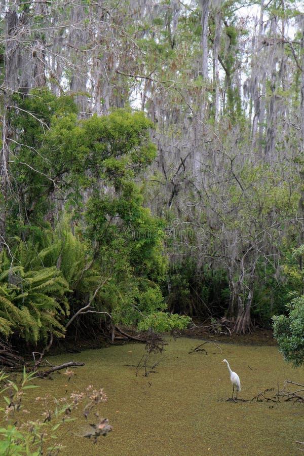 Egret en un pantano de Cypress fotografía de archivo
