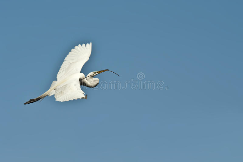 Egret en vuelo foto de archivo libre de regalías