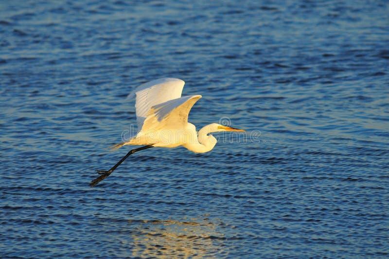 Egret en vuelo imagenes de archivo