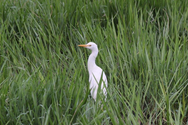 Egret entre a grama fotografia de stock