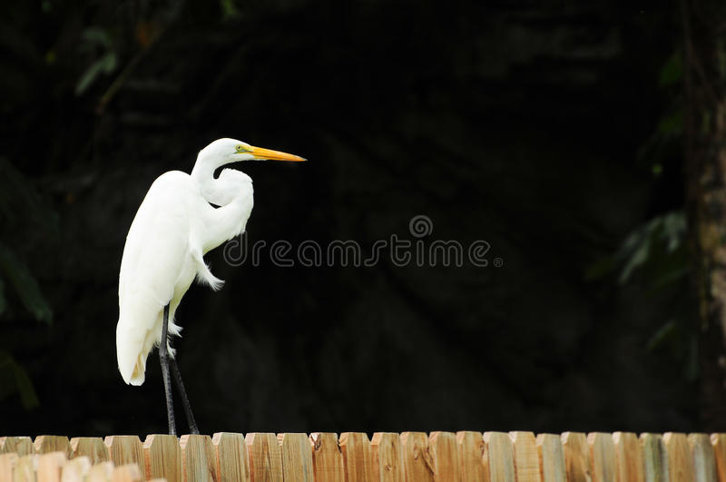 Download Egret on a Fence stock image. Image of large, bill, creature - 20688097
