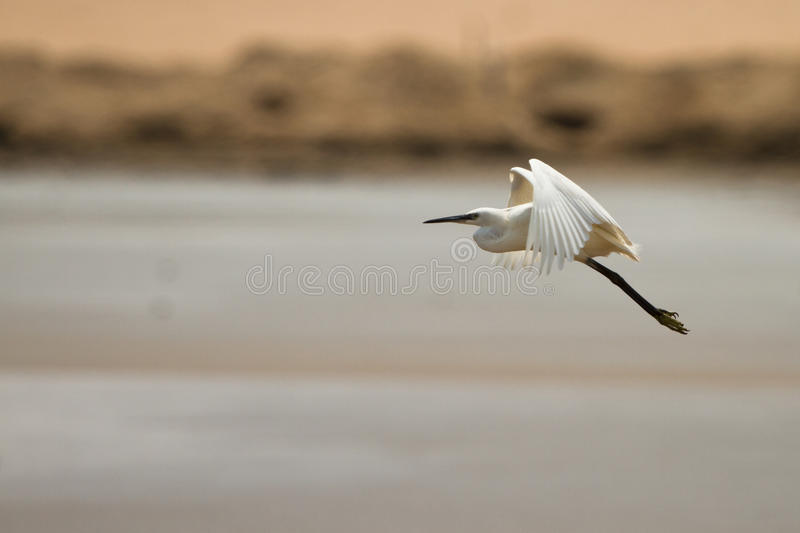 Download Egret in flight stock photo. Image of feather, nature - 18388434