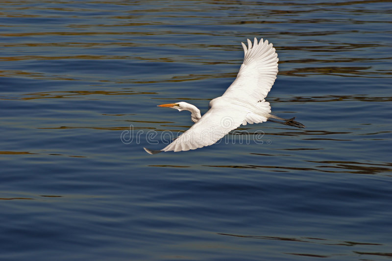 Download Egret In Flight #3 Royalty Free Stock Photo - Image: 1418715