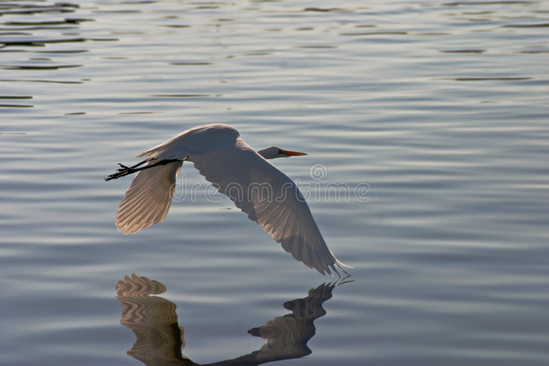 Download Egret in Flight #4 stock image. Image of lake, fauna, heron - 1419181