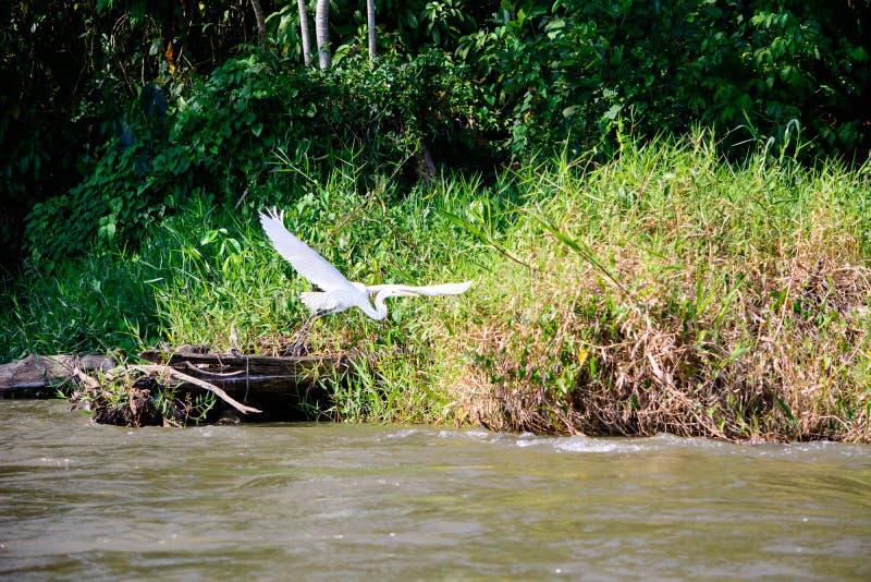Egret in flight stock photography