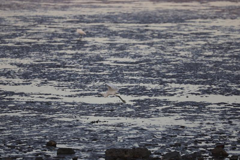 Egret flying low over the low tide in the Bohai sea area stock photos