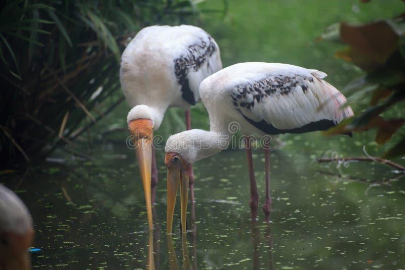 Egret foraging w bagnie zdjęcie stock