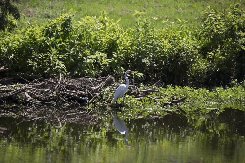 Egret. Greater egret Ardea alba near a pond shore stock photos