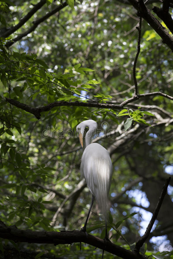 Egret. Greater egret grooming in a tree stock photography