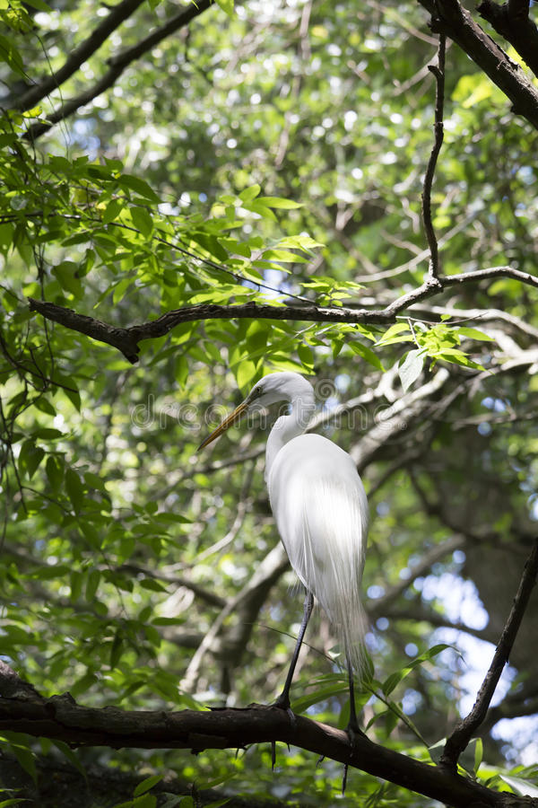 Egret. Greater egret in a tree royalty free stock images