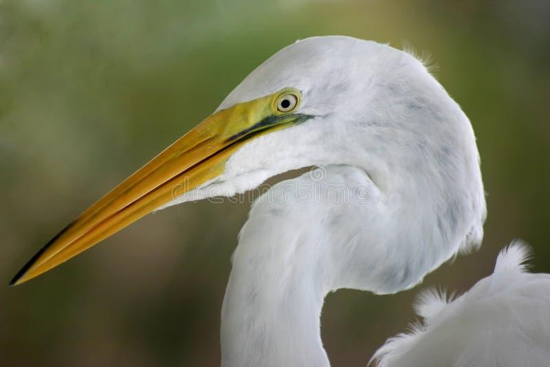 Egret Head Shot stock photo