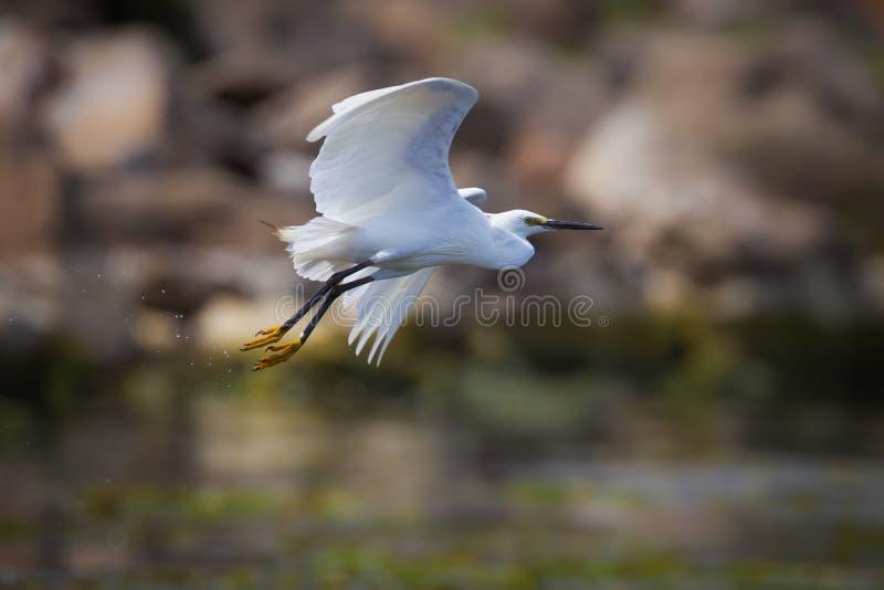 Egret intermediário (intermedia de Mesophoyx) imagem de stock
