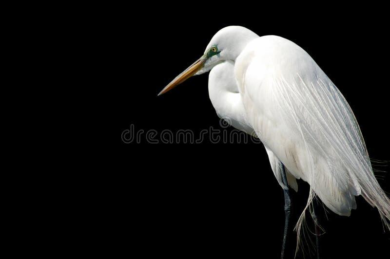 Egret isolato sul nero immagini stock