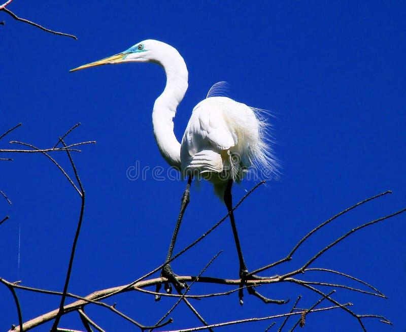 egret kończyna fotografia stock
