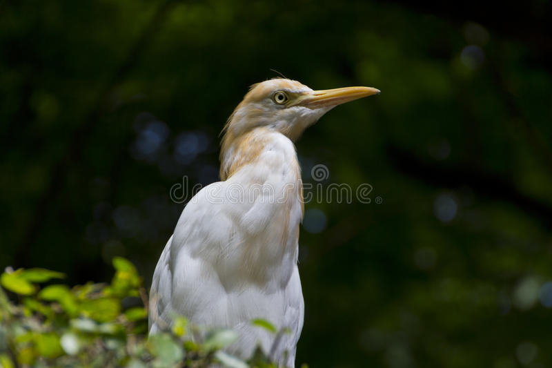 Download Egret stock photo. Image of egret, nature, tree, wildlife - 55099364
