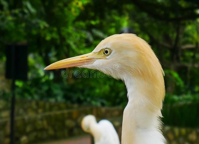 Egret, Kuala Lumpur ptaka park obrazy stock