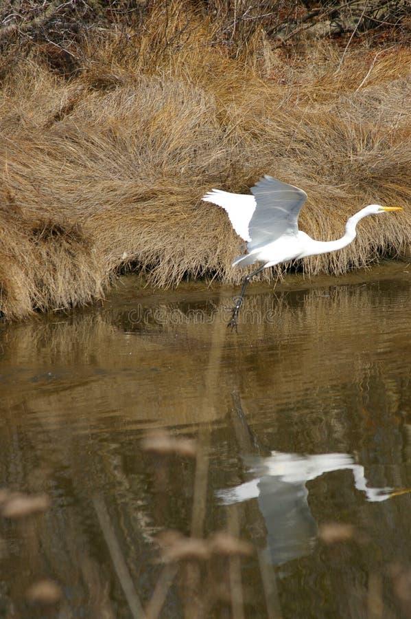 Egret lądowanie na strumieniu zdjęcia royalty free