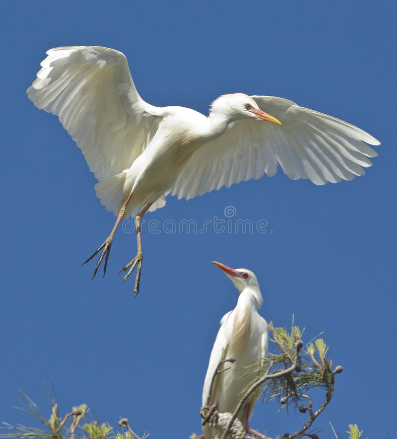 Free Egret Landing Stock Photography - 18260812