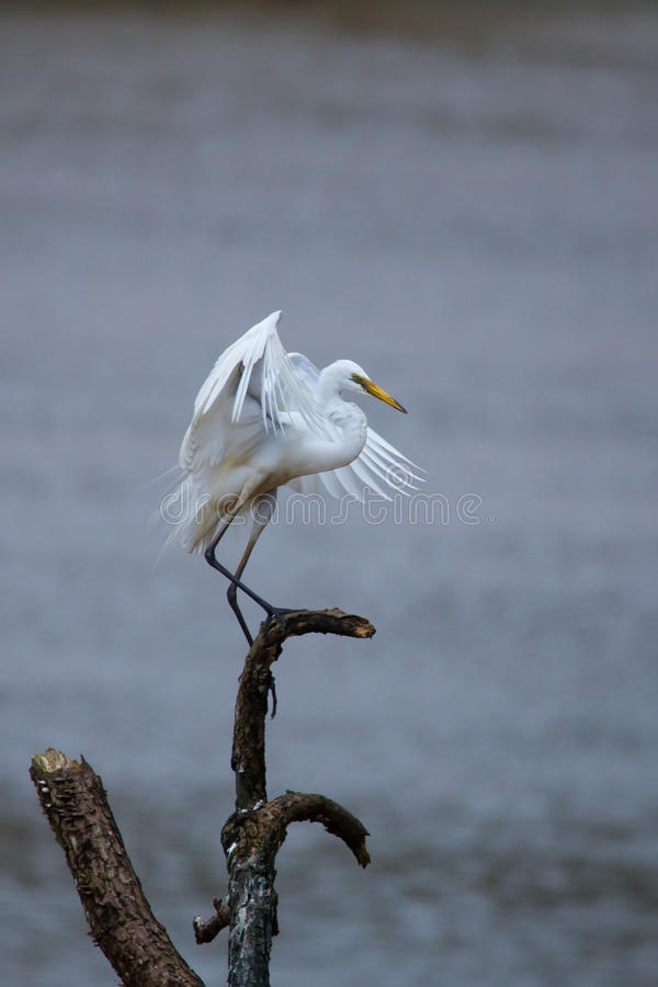 Egret landing. On a tree in river. Canon 500mm f6 ISO 500 1/1250 stock image