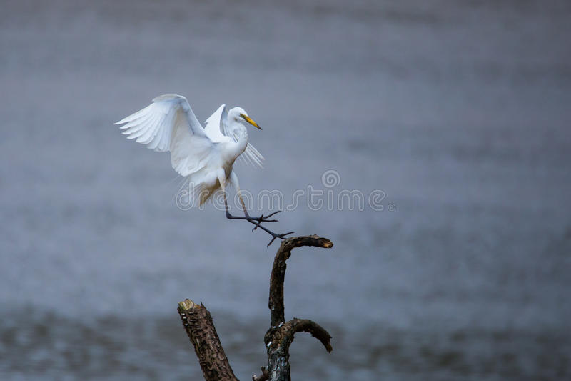 Egret landing. On a tree in river. Canon 500mm f6 ISO 500 1/1250 royalty free stock photos