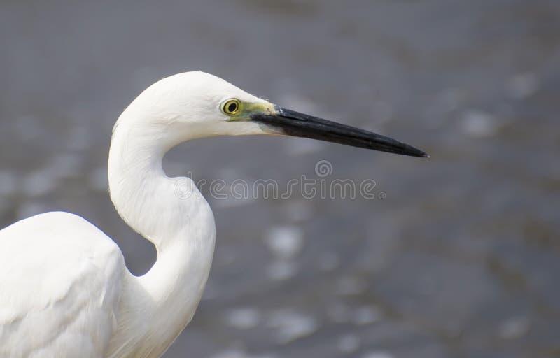 egret little royaltyfria foton