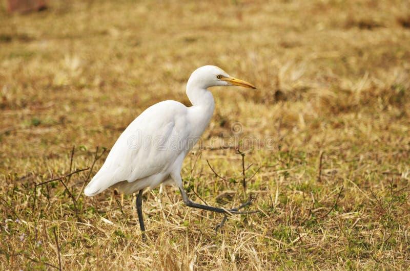 egret little arkivbilder