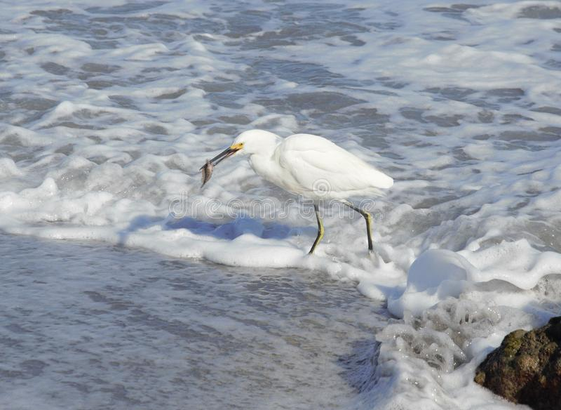 An Egret Eats Its Prey at Boca Beach. The Egret is among many South Florida Seabirds that hunt the Boca Beach Shoreline with much success royalty free stock image