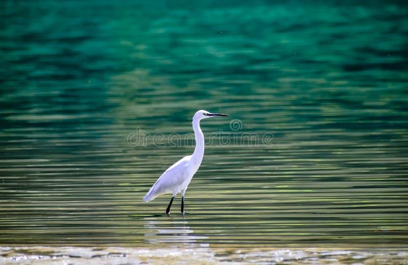 Egret na água azul do fundo bonito do rishikesh do ganga fotografia de stock royalty free