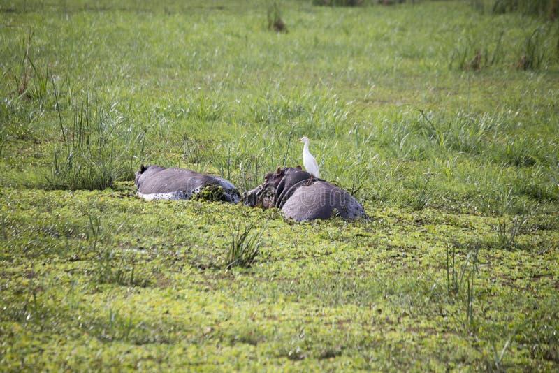 Egret na hipopotamie wewnątrz nawadnia, Jeziorny Manyara, Tanzania zdjęcia royalty free