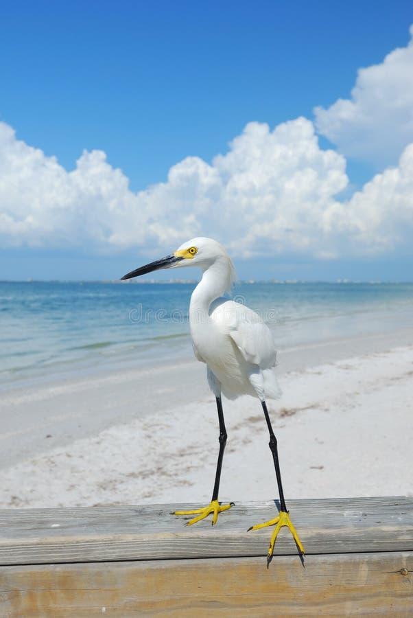 Egret na praia fotos de stock