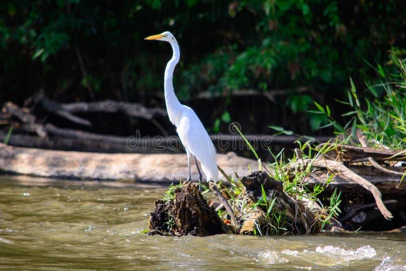 Egret na Rio San Juan fotografia stock