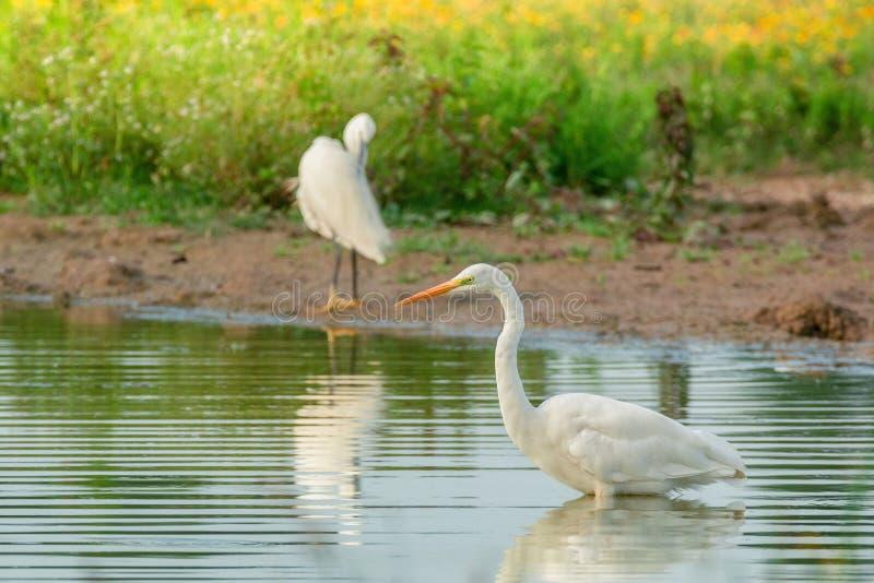 egret natury czapliej obszaru rosyjski voronezh white obraz stock