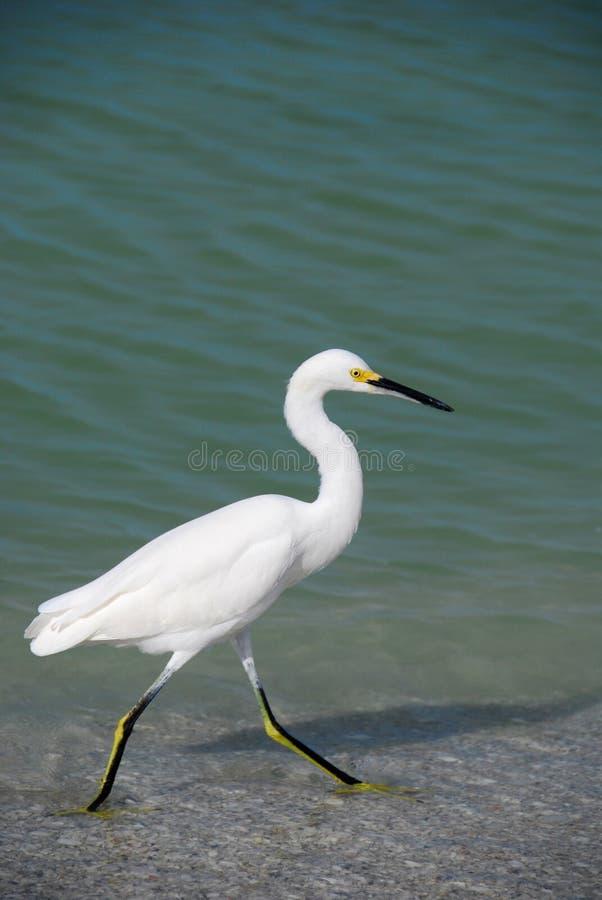 Egret nevado fotos de stock