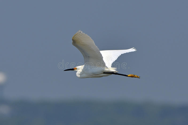Egret nevado imagens de stock