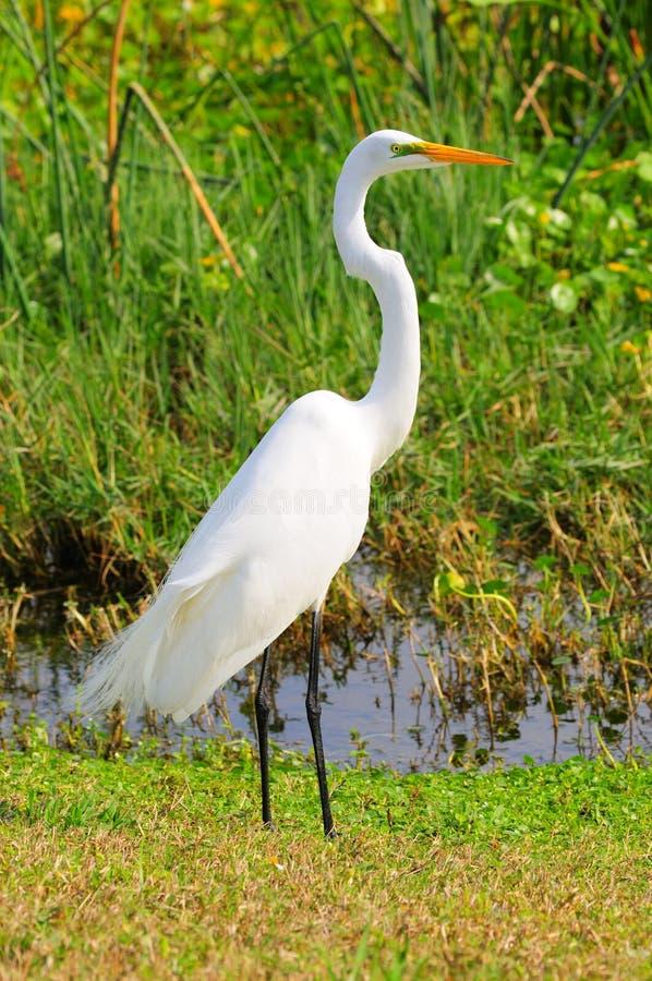 Egret nevado imagem de stock
