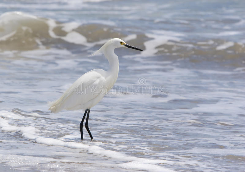 Egret nevado fotografia de stock royalty free