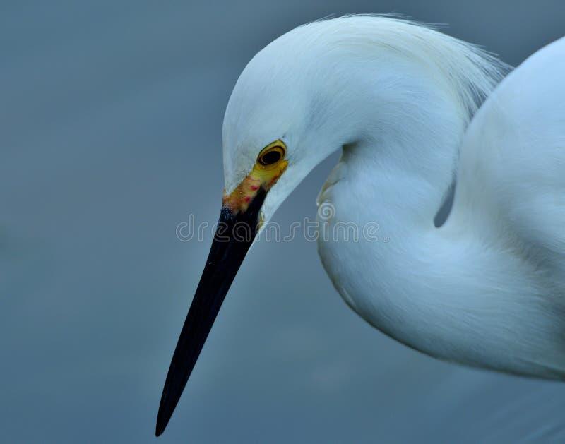 Egret nevado, acima de e perto foto de stock royalty free