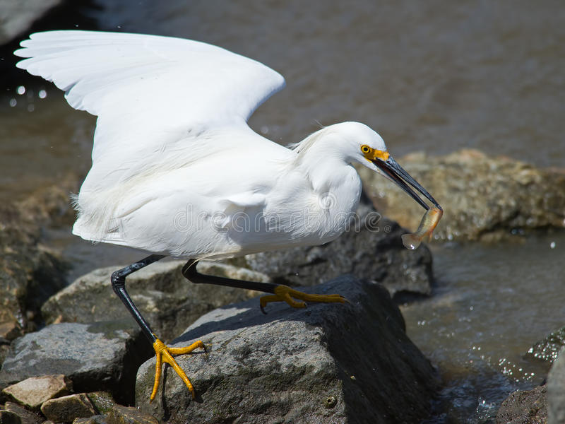 Egret nevado con los pescados imagen de archivo libre de regalías