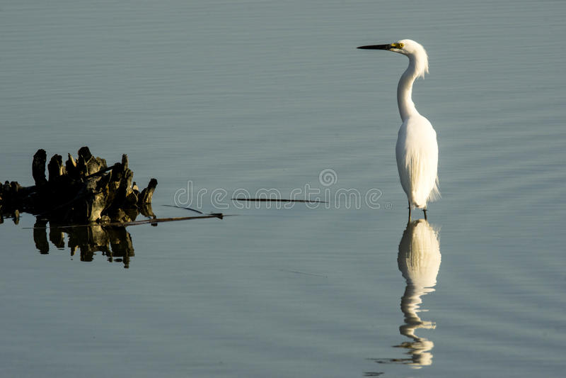 Egret nevado e peixes imagem de stock royalty free