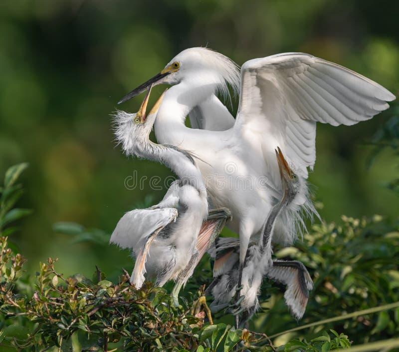 Egret nevado em Florida imagens de stock royalty free
